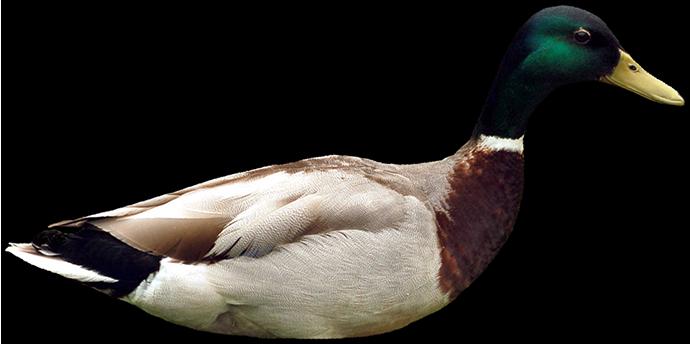 encouraging duck