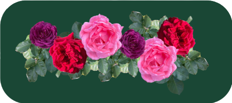A image of purple, pink and red roses on a green background