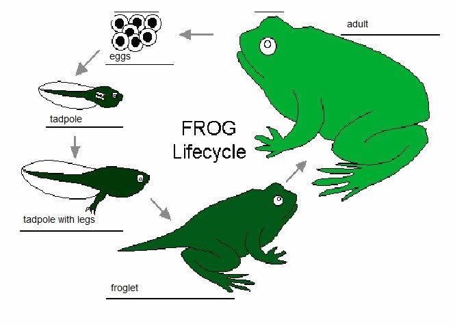 abc2 (frog)